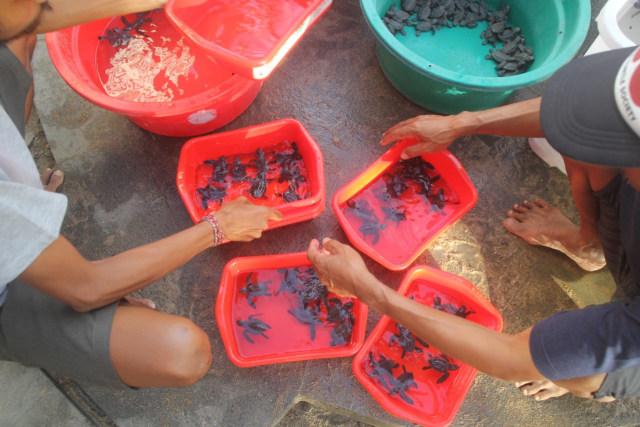 255 baby turtles released on Kuta Beach